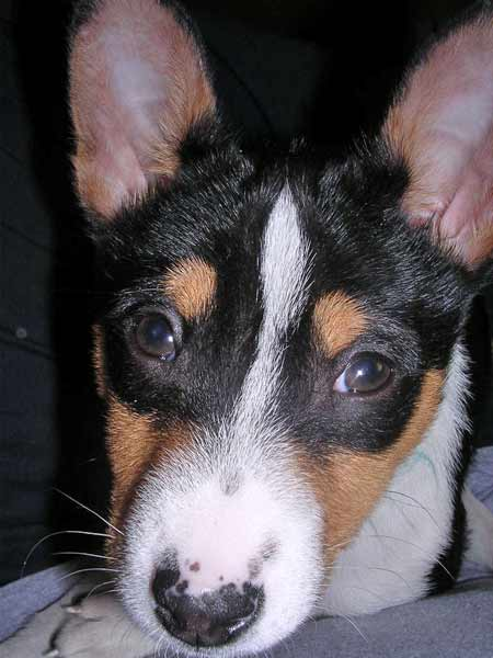 Corky the Basenji Pictures 931