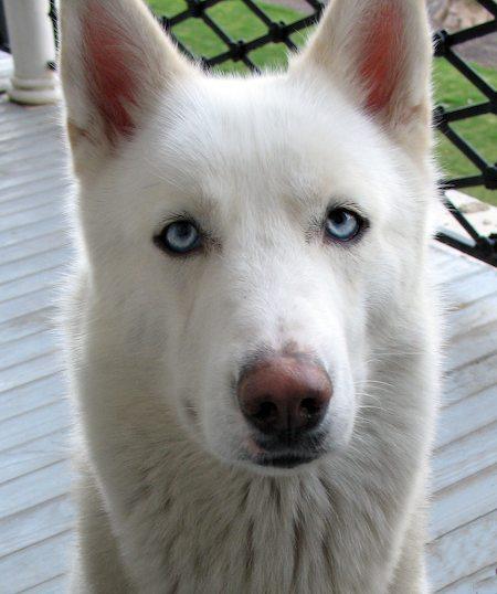 Dakota the Husky / Shepherd Mix Pictures 7882