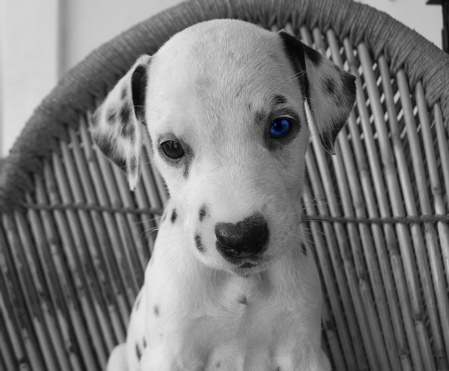 Dalmatian Puppy Pictures 14