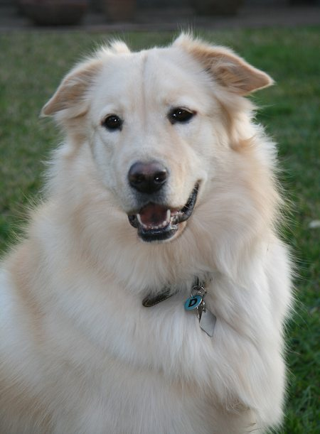 Dante the Great Pyrenees x Golden Retriever Pictures 6513