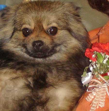 Daphne the Orange Sable Pomeranian Pictures 676