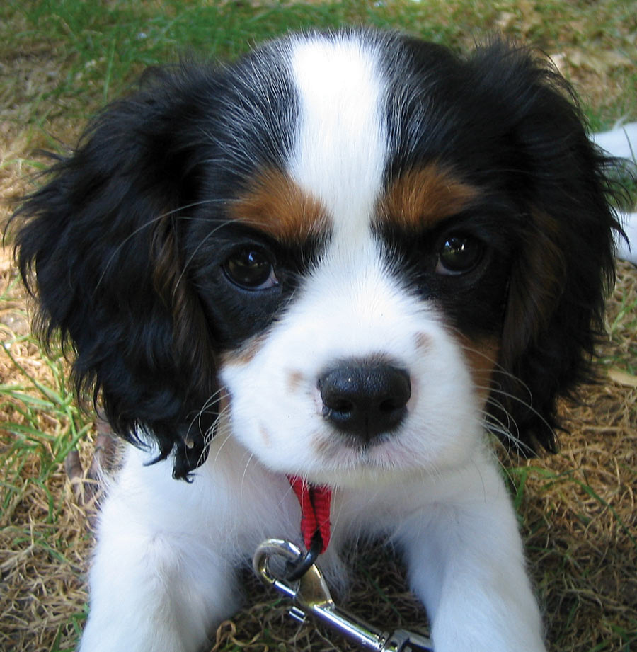 Darwin the Cavalier King Charles Pictures 5769