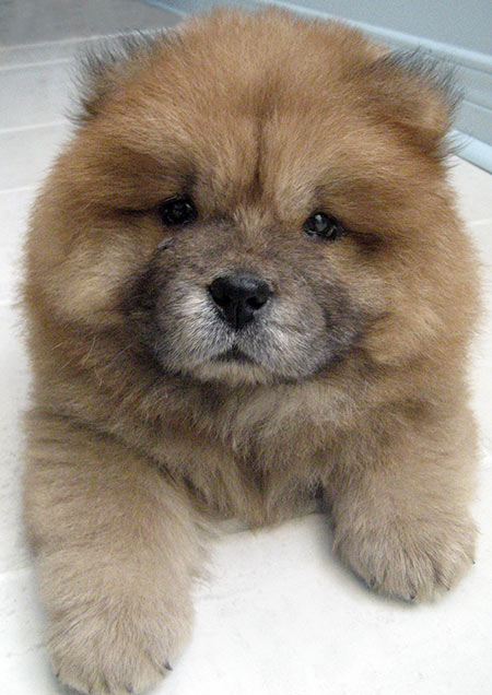 DoyDoy the Chow Chow Pictures 4527