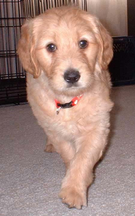 Dudley the Goldendoodle Pictures 1286