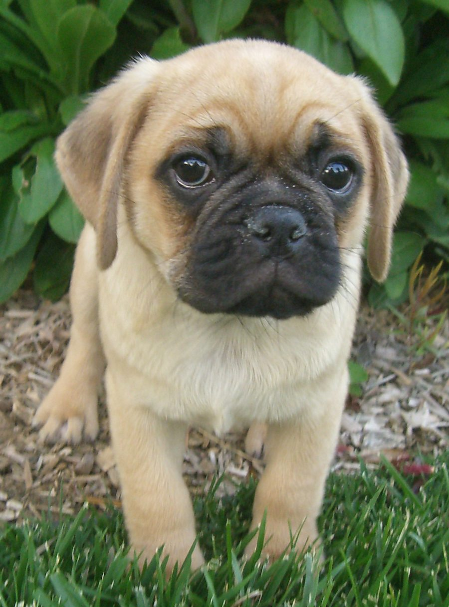 Dudley the Puggle Pictures 6600