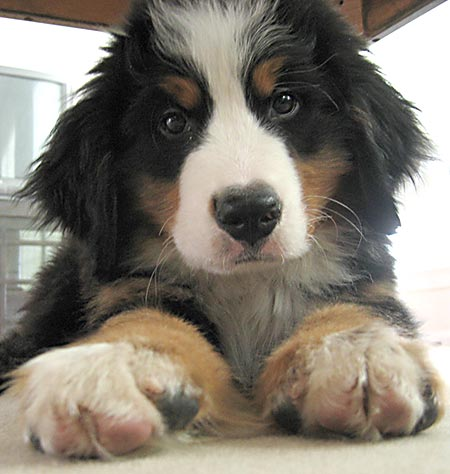 Ecko the Bernese Mountain Dog Pictures 747