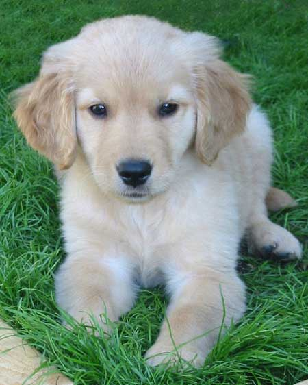 Edgrrr the Golden Retriever Pictures 1476
