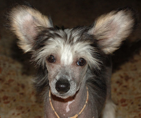 Edwin the Chinese Crested Pictures 4691