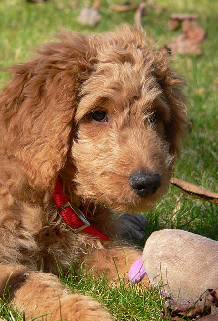Eli the Goldendoodle Pictures 4082