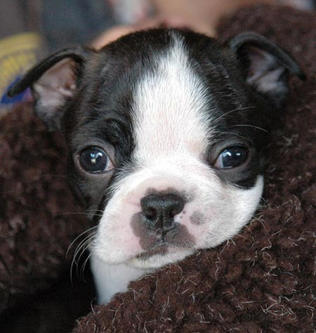 Etta James the Boston Terrier Pictures 3048