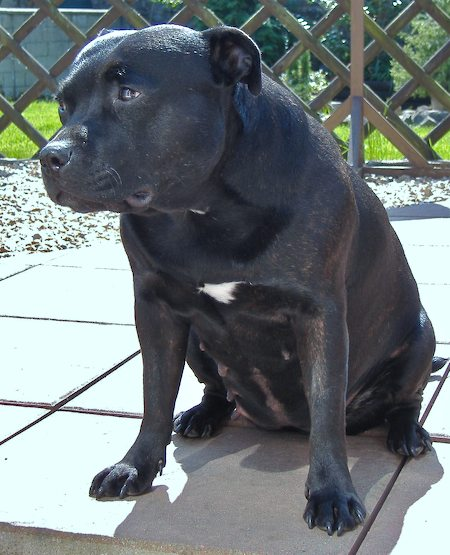 Evie the Staffordshire Bull Terrier Pictures 6288