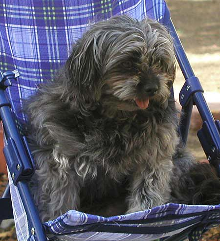 Feo the Yorkie Mix Pictures 1860