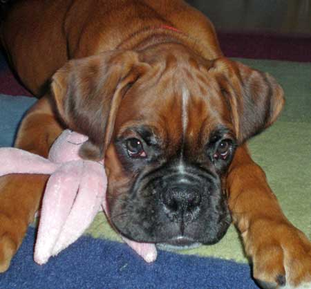 Finley the Boxer Pictures 9289