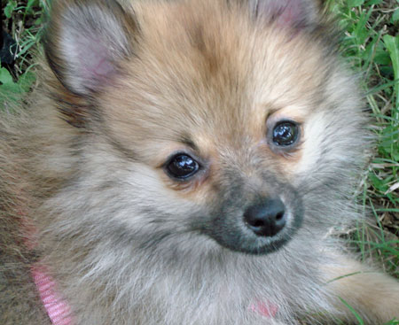 Foxie the Pomeranian Pictures 9743