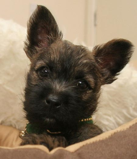 Fraggle the Cairn Terrier Pictures 2753