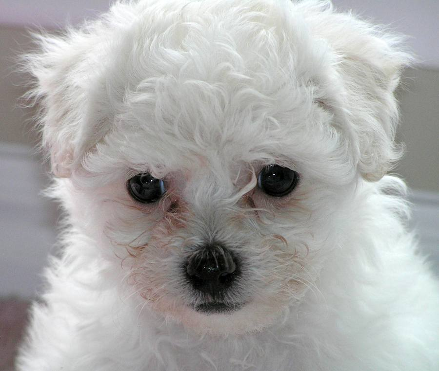 Franzene the Bichon Frise Pictures 7923
