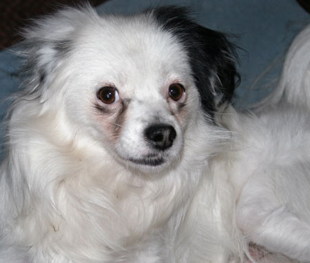 Fry the Papillon Mix Pictures 10655