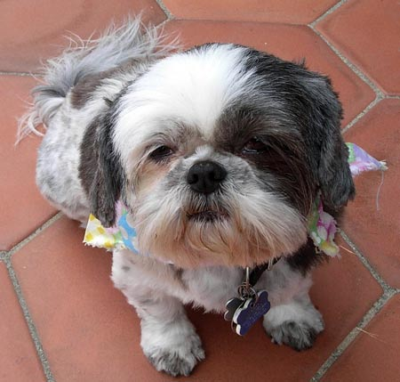 Gabby the Shih Tzu Pictures 5823