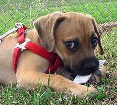 George the Puggle Pictures 9371