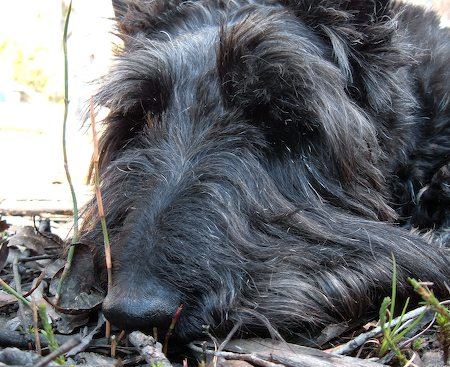 Gordon the Scottish Terrier Pictures 7254