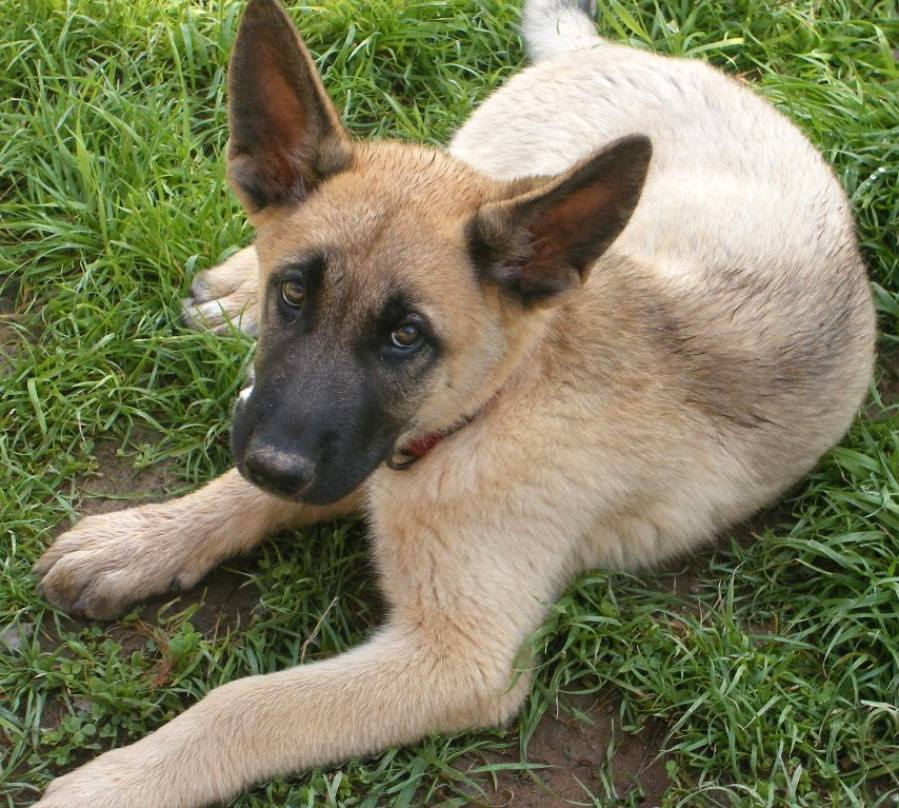 Hank the German Shepherd Mix Pictures 8174