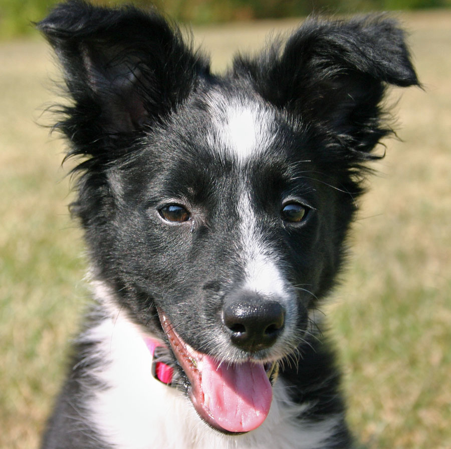 Hannah the Border Collie Pictures 10800