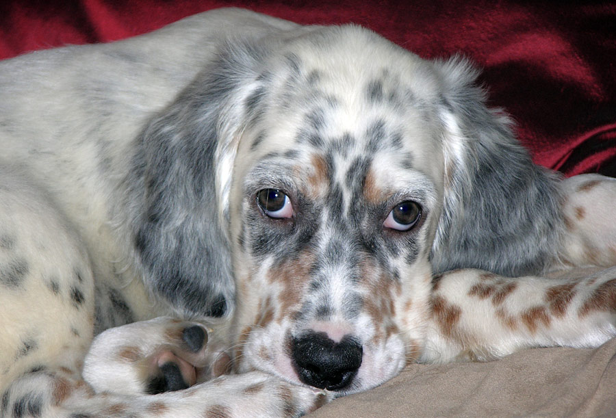 Hannah the English Setter Pictures 4413