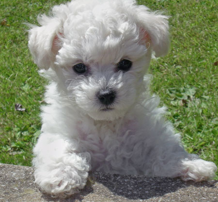 Harvey the Bichon Frise Pictures 10264