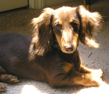 Hershey the Mini Dachshund Pictures 1462