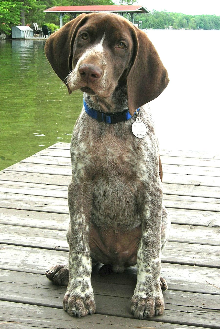 Hogan the German Shorthaired Pointer Pictures 6383