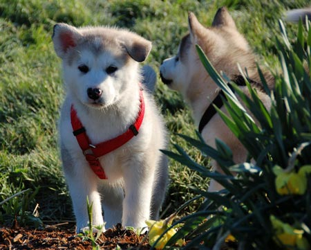 Yuki and Hoshi the Malamutes Pictures 872