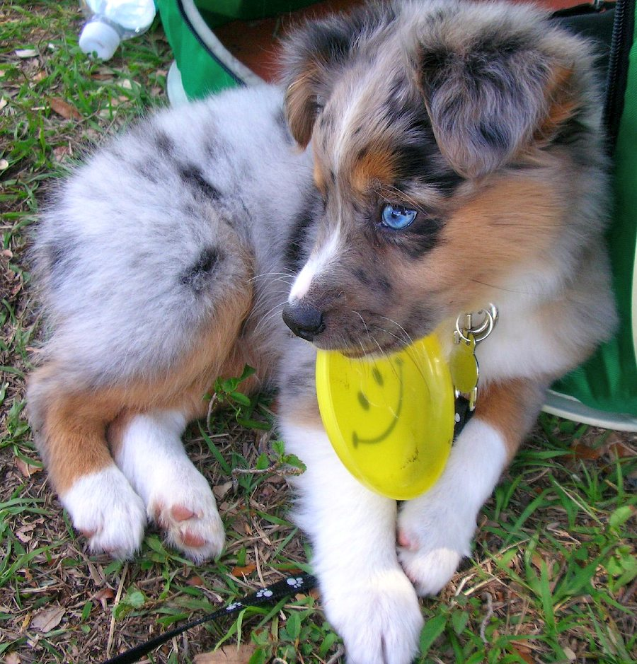 Huey the Australian Shepherd Pictures 6219
