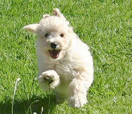 Idefix the Poodle x Bichon Frise Pictures 153