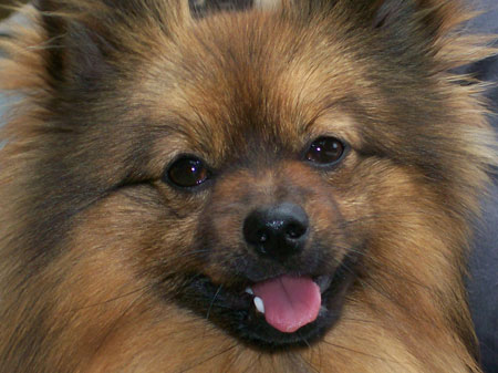 Jasper the Pomeranian Pictures 4772