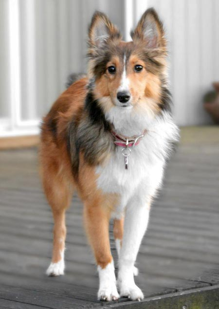 Jenny the Shetland Sheepdog Pictures 2544