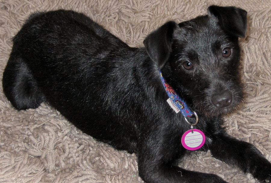 Jess the Patterdale Terrier Mix Pictures 10998