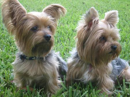 Jezebel and Yummy the Yorkies Pictures 5977