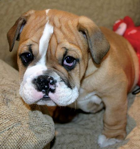 Jiggs the Bulldog Pictures 5344