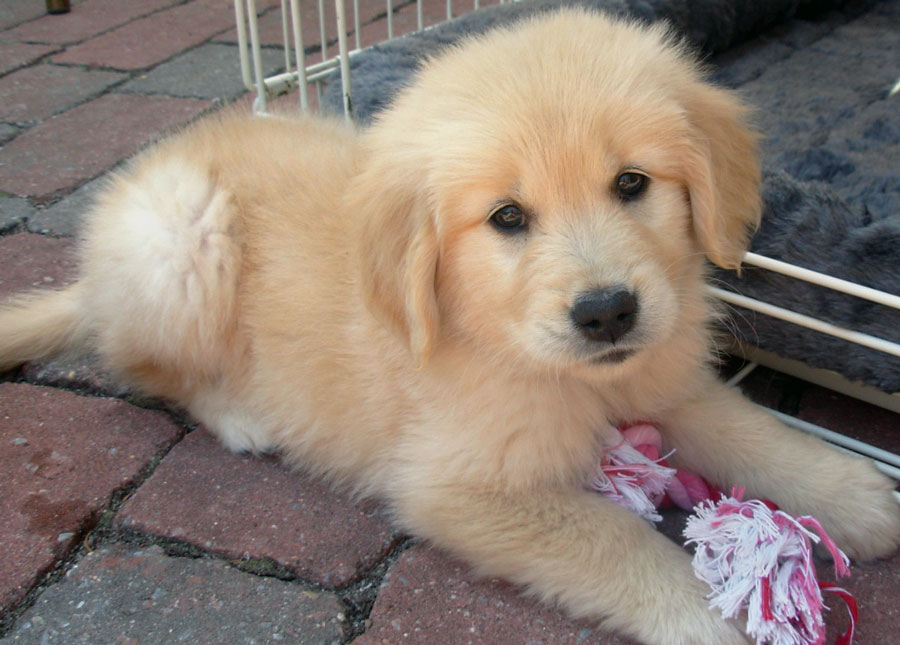 Kayla the Golden Retriever Pictures 10767