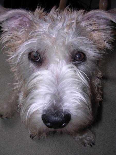 Kegan the Imaal Terrier Pictures 11083