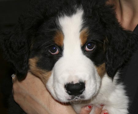 Kevin the Bernese Mountain Dog Pictures 3508
