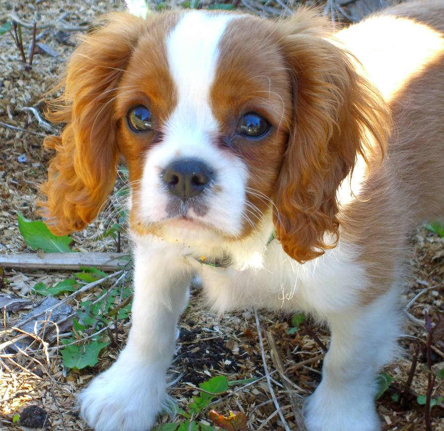 Kiba the Cavalier King Charles Spaniel Pictures 7069