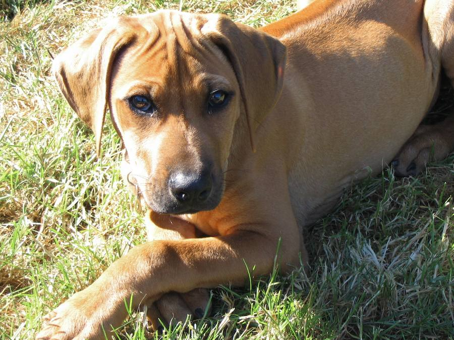 Kimba the Rhodesian Ridgeback Pictures 8413