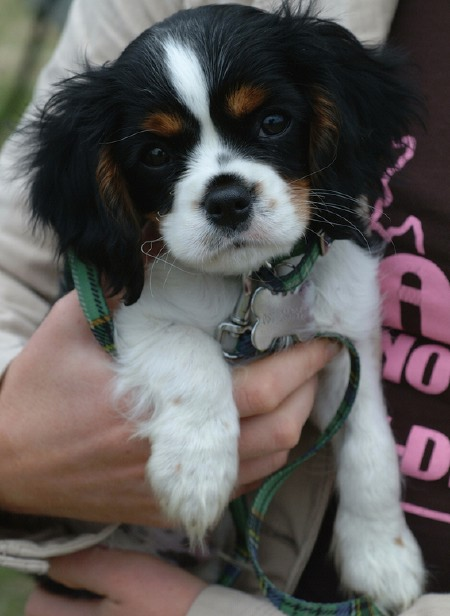 Cavalier King Charles Spaniel Puppy Pictures 37