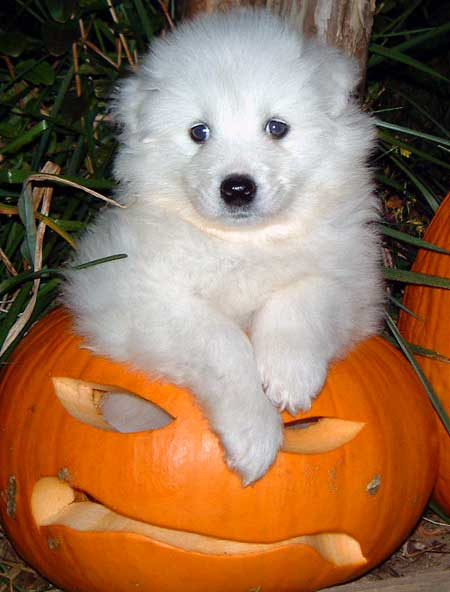 Klondike the Samoyed Pictures 87