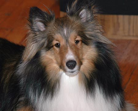 Laci the Shetland Sheepdog Pictures 3954