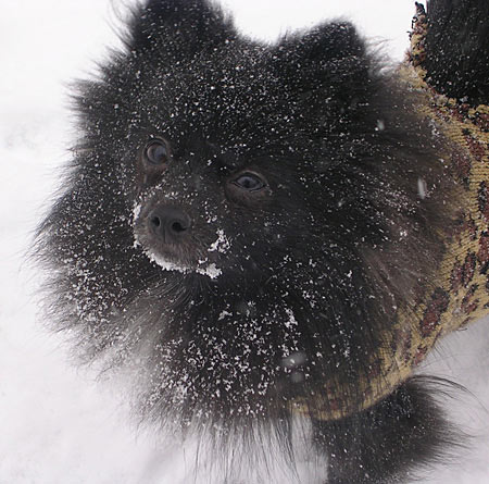 Lara Rose the Pomeranian Pictures 4519