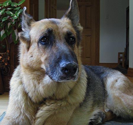 Legend the German Shepherd Pictures 2305