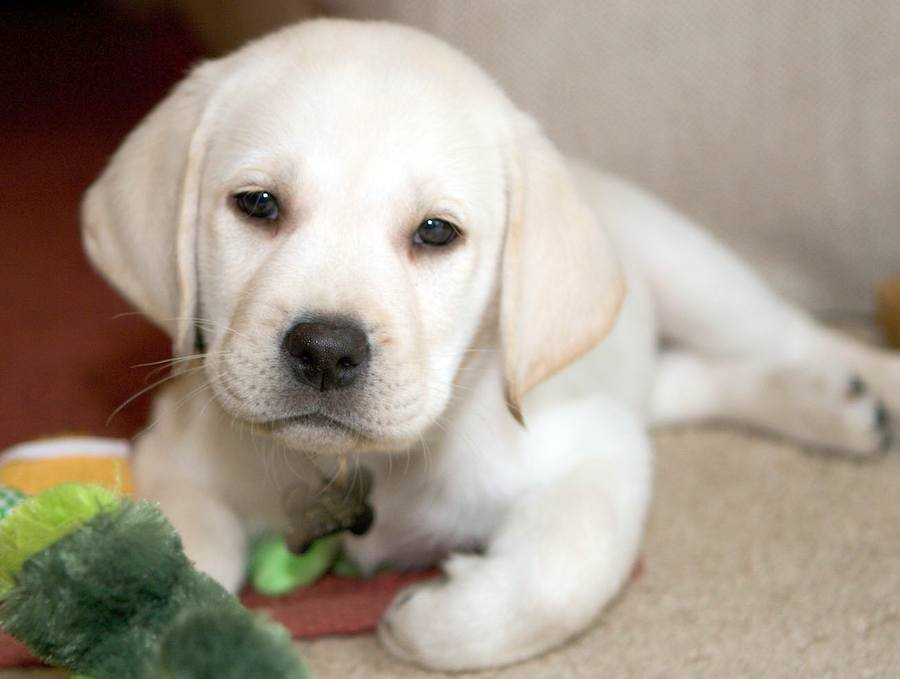 Louie the Yellow Lab Pictures 7375