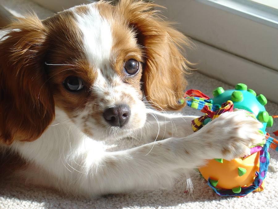 Lucy the Cavalier King Charles Spaniel Pictures 7348